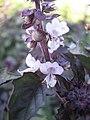Ocimum basilicum Васильки справжні фіолетові - суцвіття - сорт LS 2712.jpg