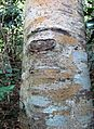 Ocotea bullata - bark of young Black Stinkwood - Cape Town.jpg