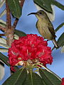 Olive sunbird, Cyanomitra olivacea, at Seldomseen, Vumba, Zimbabwe (21961553392).jpg