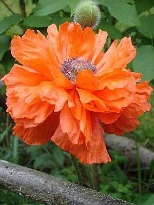 Papaver orientale - Olympia orange