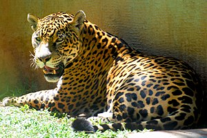 Jaguar Top Famous Animals