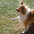 On training Shetland sheep dog.jpg
