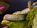 Ophiophagus hannah Genève 24102014 1.jpg