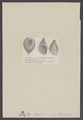 Opis elegans - - Print - Iconographia Zoologica - Special Collections University of Amsterdam - UBAINV0274 005 07 0041.tif
