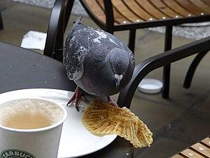 Descriptive psychology - A pigeon pecking a dish