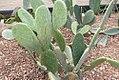 Opuntia ficus-indica 0zz.jpg