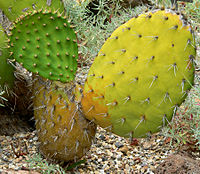 Opuntia oricola 3.jpg