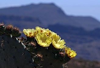 Opuntienblüte - Gran Canaria - börste.jpg