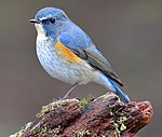 Orange-flanked Bluetail 9170 cropped.jpg