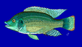 Oreochromis mossambicus.png