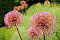 Ornamental Onion (4684530692).jpg