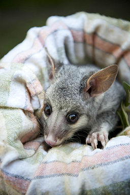 Orphaned Possum (8025629759)