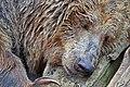 Orso bruno (Ursus arctos) - Brown bear, Valbrembo, Italia, 08.2014 (2).jpg