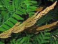Osmundaceae - Osmunda regalis (8304693288).jpg