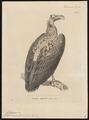 Otogyps nubicus - 1700-1880 - Print - Iconographia Zoologica - Special Collections University of Amsterdam - UBA01 IZ18100053.tif