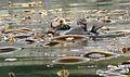 Otter in kelp field.jpg