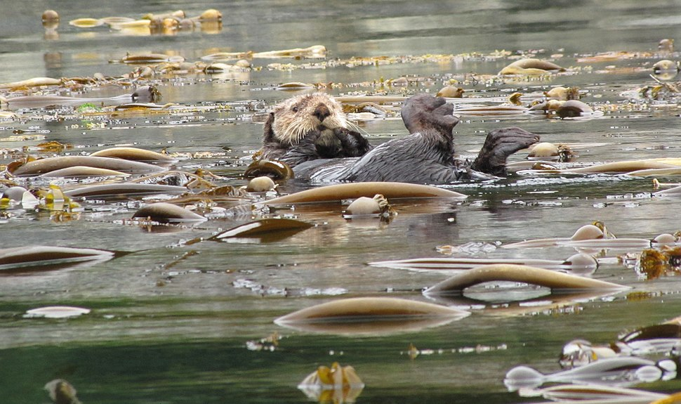Otter in kelp field