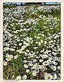 Oxeye Daisy Field - Flickr - pinemikey.jpg
