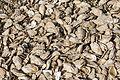 Oyster shells, texture, Esnandes, Charente-Maritime, august 2015.jpg