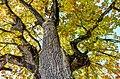 Pörtschach Halbinselpromenade Landspitz Eiche im Herbstkleid 11102013 1588.jpg