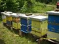 Pčele na lipi - panoramio (3).jpg