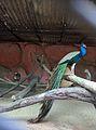 PEACOCK BIRD.jpg