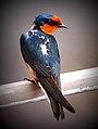 Pacific Swallow Malaysia2.jpg