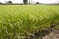 Paddy field in Inashiki, Ibaraki 07.jpg