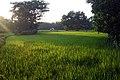 Paddy trees from Kazirbag (01).jpg
