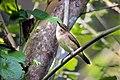 Paddyfield Warbler (Acrocephalus agricola) പാടക്കുരുവി. (31869889503).jpg