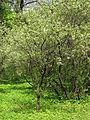 Padus mahaleb blossom 01.JPG