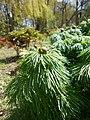 Paeonia tenuifolia 2017-04-20 8144.jpg
