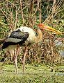 Painted Stork Mycteria leucocephala by Dr. Raju Kasambe DSCN7364 (2).jpg