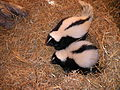 Pair of Skunks at Pumpkin Farm.JPG