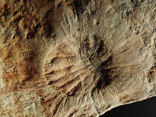 <i>Palaeophragmodictya</i>