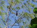 Palm spider.jpg