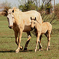 Palomino overo paint mare and foal.jpg
