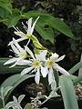 Pancratium illyricum (17436024483).jpg