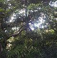 Pandanus iceryi - Vacoas - Ferney Mauritius 2.jpg