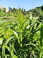 Panicum virgatum - Botanical Garden in Kaisaniemi, Helsinki - DSC03563.JPG
