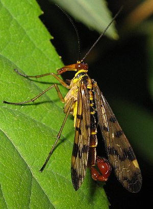 Endopterygota - Panorpa communis, a scorpionfly (order Mecoptera)