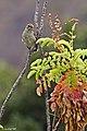 Papamosca cerrojillo. (Ficedula hypoleuca)(♀) (6263898242).jpg