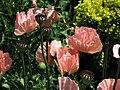 Papaver orientale 'Pattys Plum' Flowers 2816px.jpg