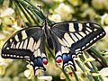 Papilio machaon - eclosion A - 06 - spreading his wings.jpg