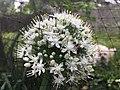 Parancistrocerus fulvipes on allium cepa flower.jpg