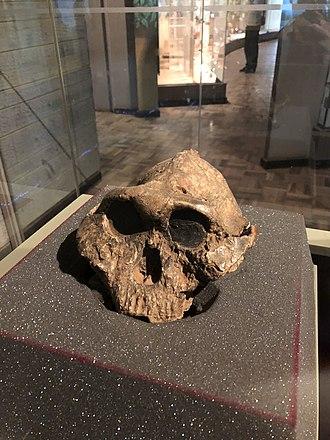 Paranthropus boisei - Paranthropus boisei KNM ER 406