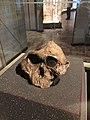 Paranthropus boisei 406.jpg