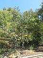 Parc Gonzalez - Eucalyptus preissiana.jpg