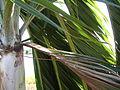 Parepou arecaceae.jpg