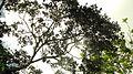 Parinari leontopitheci Prance - Flickr - Alex Popovkin, Bahia, Brazil (10).jpg